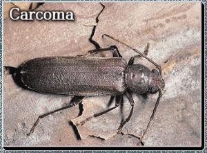 Tratamientos contra xil fagos en madera control de plagas - Como eliminar la carcoma de la madera ...