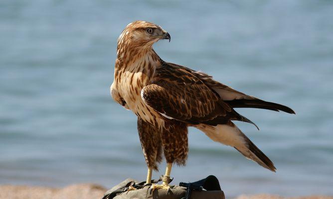 Cetreria para el control de aves en Madrid