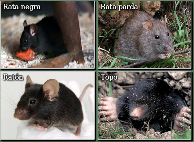 Desratización Madrid. Eliminar ratas y ratones.