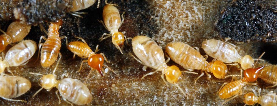 Insectos que atacan la madera. Tratamiento y fumigación.