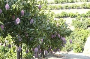 control de plagas mangos