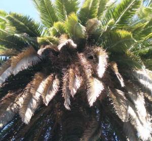 desratización en las palmeras