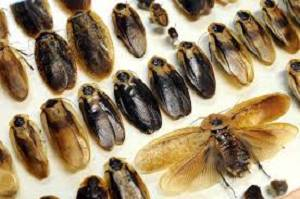 especies de cucarachas