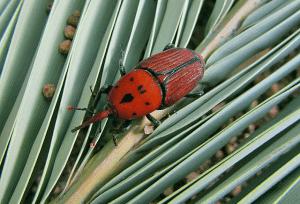 Insecto picudo rojo