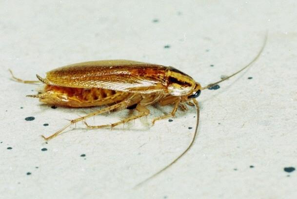 fumigación de cucarachas en madrid
