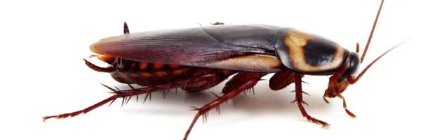 plaga de cucaracha roja