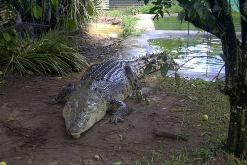 cocodrilo australiano