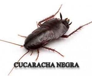 cucaracha negra 305