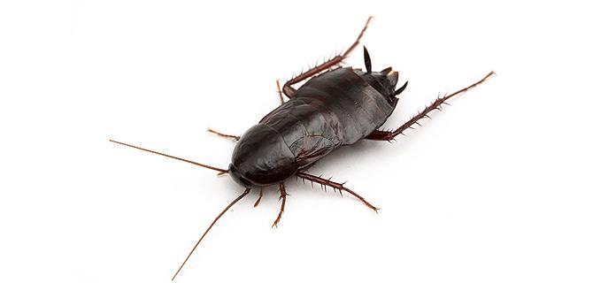 plaga de cucaracha negra