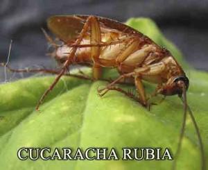 cucaracha-rubia