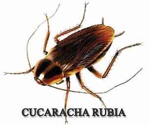 cucaracha rubia plaga 305