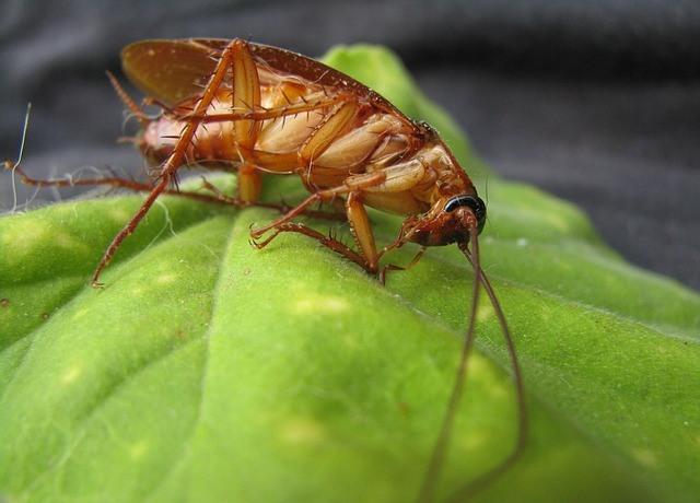 cucaracha rubia