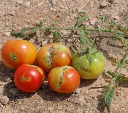 plaga en tomates
