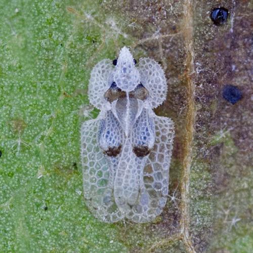 corythuca-ciliata-1055-492-en