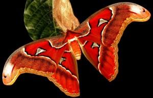mariposa atlas
