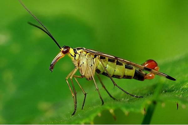 mosca-escorpion-03