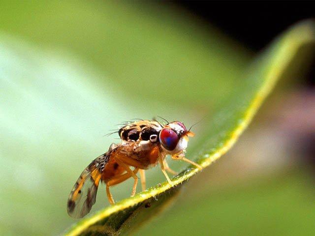 control de plagas mosca de la fruta