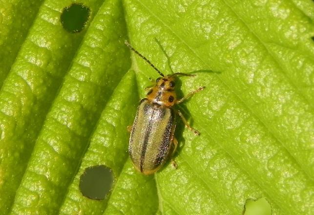 plaga escarabajo del olmo