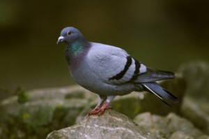 plaga de palomas