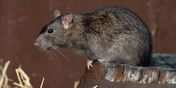 plaga de rata noruega