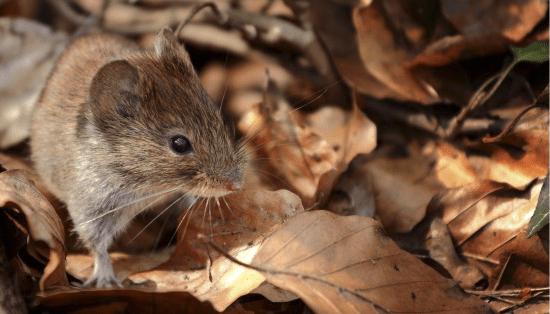 raton casero