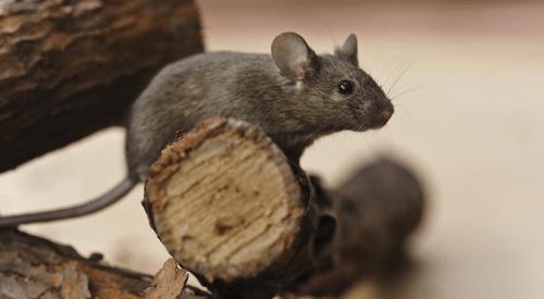 raton del tejado