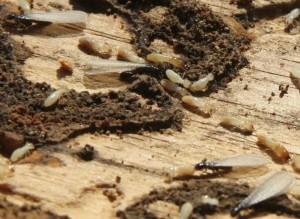 plaga-de-termitas