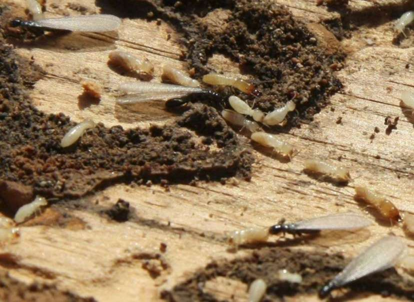 Una plaga de termitas subterráneas amenaza al casco histórico