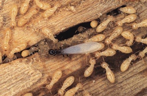 plaga termitas