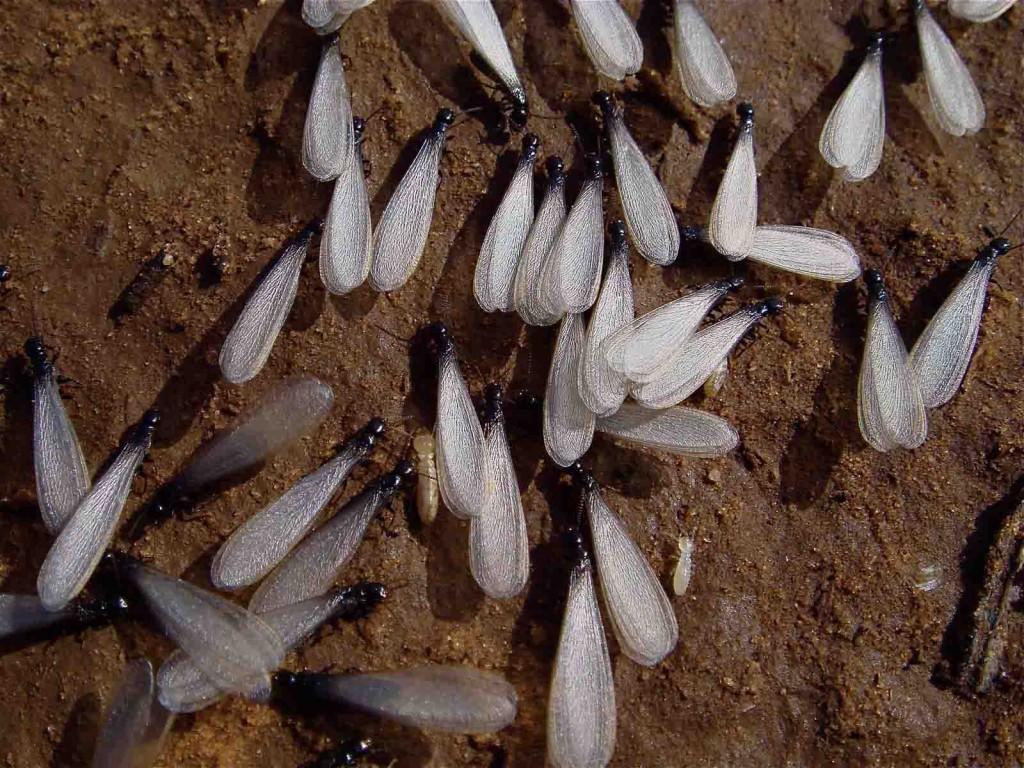 termitas byostasys