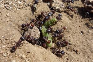 plaga de hormigas