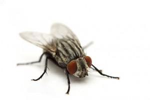 plagas de moscas