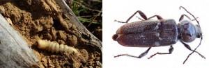 Insecto de Carcoma - Byostasys