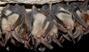 Plaga de Murciélagos