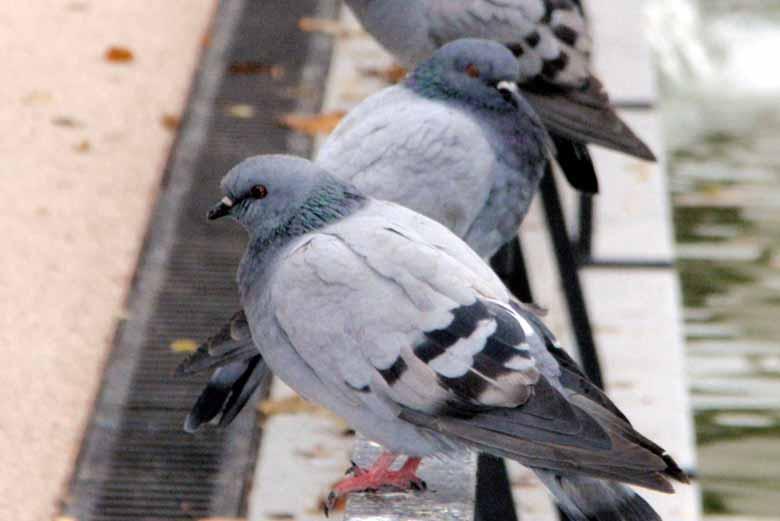 control-de-palomas-urbanas