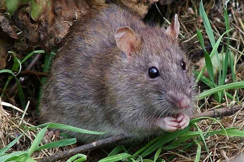 plaga de ratas en Madrid
