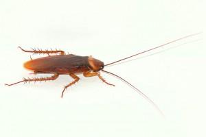 Control cucarachas en Madrid