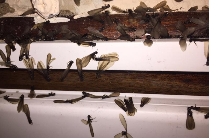 eliminacion termitas