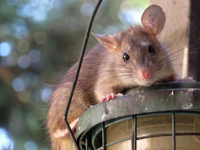 Plaga ratas gigantes en Yakarta Indonesia