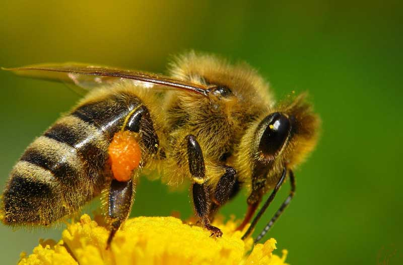 abejas-extincion