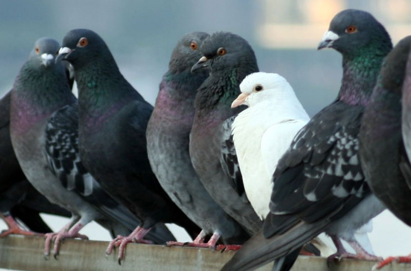 control de palomas urbanas