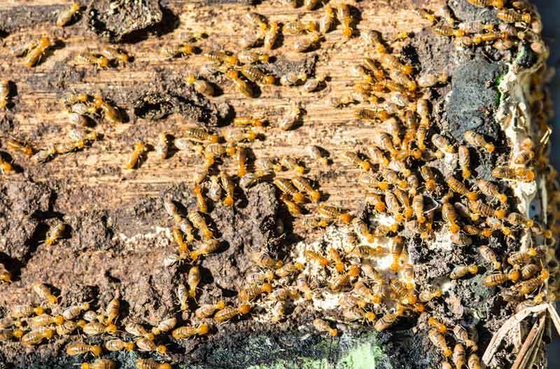 control de plagas de termitas