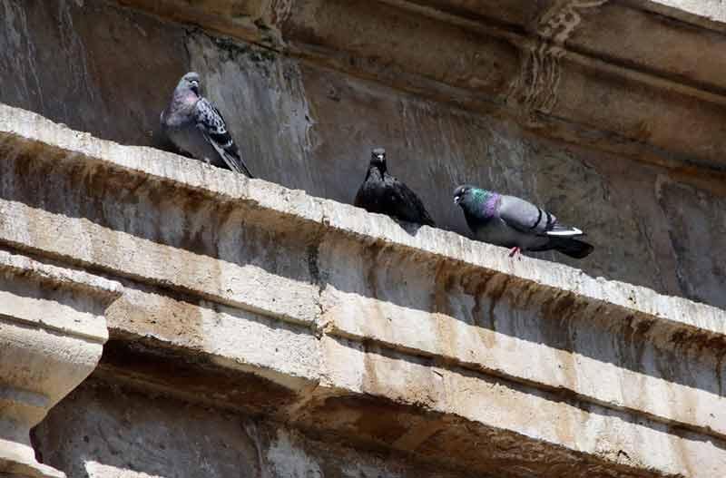 control de plagas de palomas en Madrid