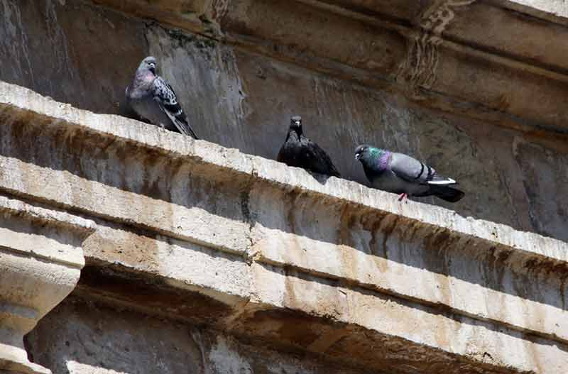 plaga-de-palomas-urbanas