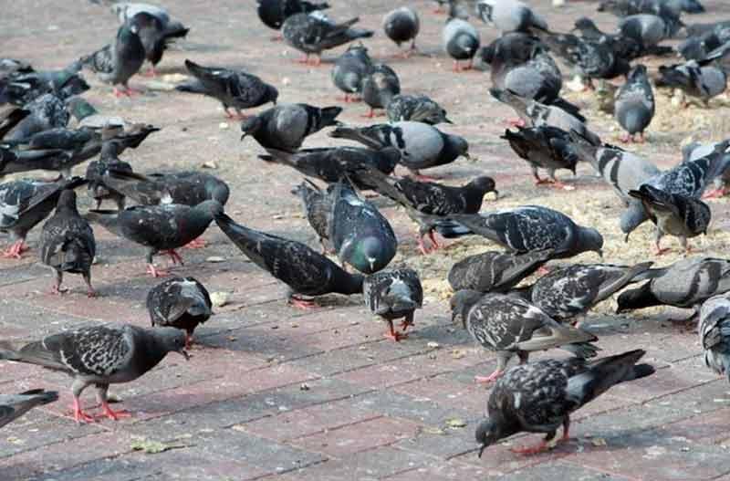 Las plagas de palomas urbanas