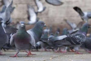 eliminar palomas