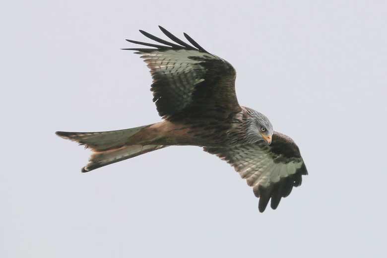cetrería para eliminar palomas