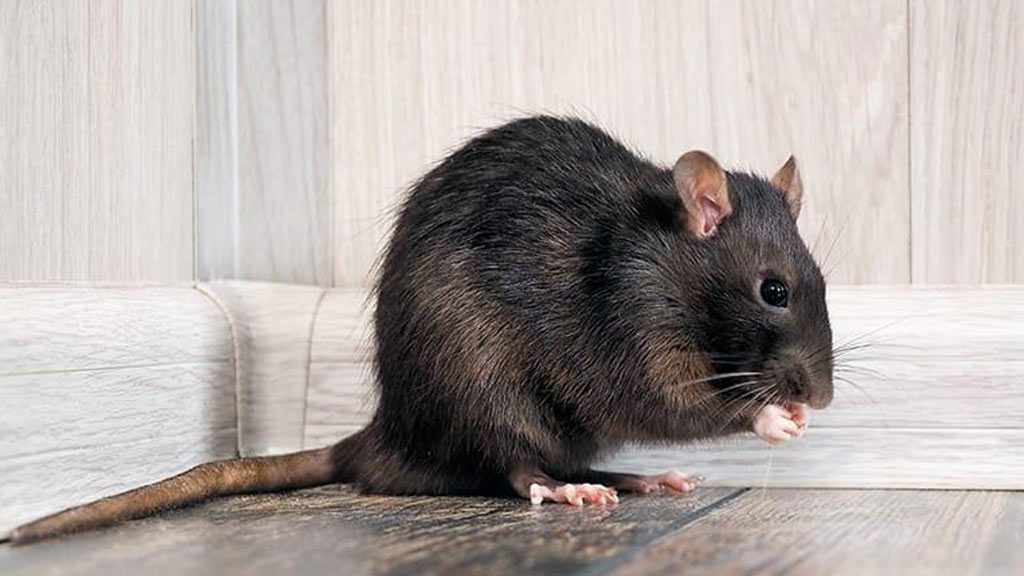 una plaga de ratas en Madrid