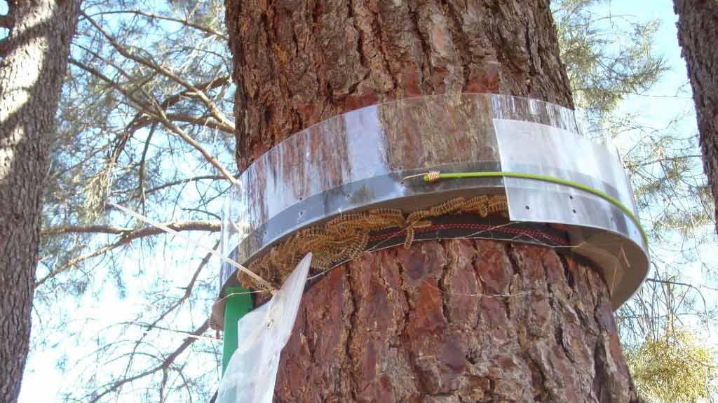peligro de la procesionaria del pino
